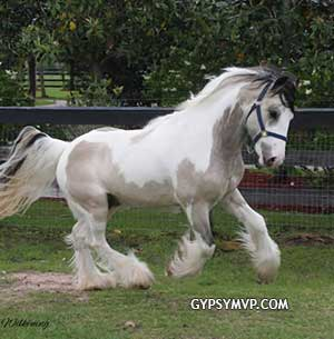 Gypsy Vanner Horses for Sale | Colt | Buckskin and White | Tanner