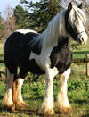 Tara | Gypsy Vanner Mare for Sale