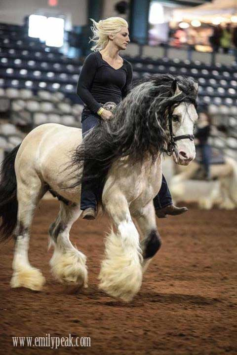 A Legendary Gypsy Vanner