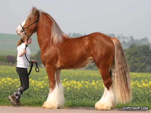 Gypsy Vanner Horse for Sale | Stallion | Flaxen mane and ... - photo#31