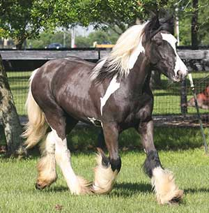 GeeGee Gypsy Vanner Mare