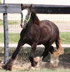 Gypsy Vanner Horses for Sale | Colt | Touch of Pizzaz