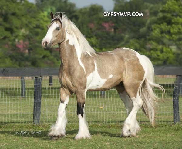 gypsy vanner horses for sale gelding buckskin white tough love