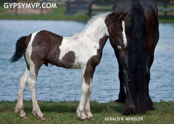 Gypsy-Friesian Horses for Sale | Colt | Piebald | Tuxedo