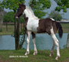 Gypsy-Friesian Horses for Sale