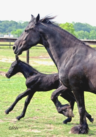 Broodmare Friesian Horses for sale | HorseClicks