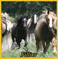 Gypsy Vanner Fillies for Sale