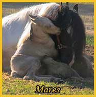 Gypsy Vanner Mares for Sale