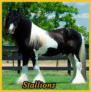 Gypsy Vanner Stallions for Sale
