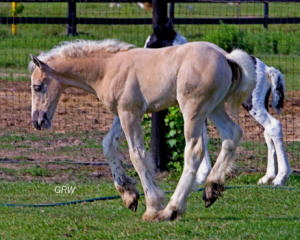 Cash's coloring has been confirmed, and he is a wonderful Palomino colt.