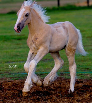 our latest edition to our cremello horses
