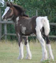 A near perfect example of a gypsy vanner filly