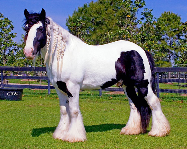 large gypsy Vanner Stallion